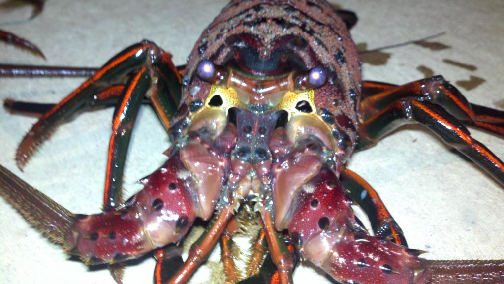 How to tail a california spiny lobster for Lobster fishing san diego