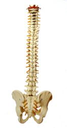 Spine Model